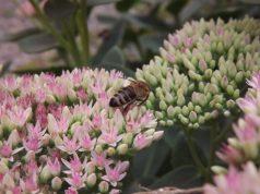 Dagens pollental med Astma-Allergi Danmark